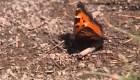 """Miles de mariposas """"enamoradas"""" llegan a Nevada"""