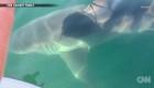 Gran tiburón blanco nada muy cerca de una familia