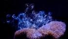 Mira cómo se procrean estos corales en un laboratorio