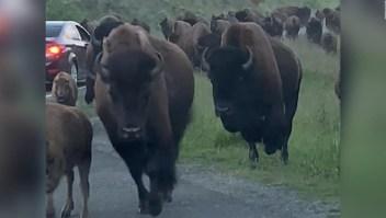 Estampida de bisontes ataca a un auto