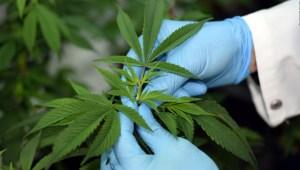¿Sabías que...? El cannabis enfrenta otra lucha