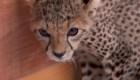 Es fácil comprar un guepardo en redes sociales