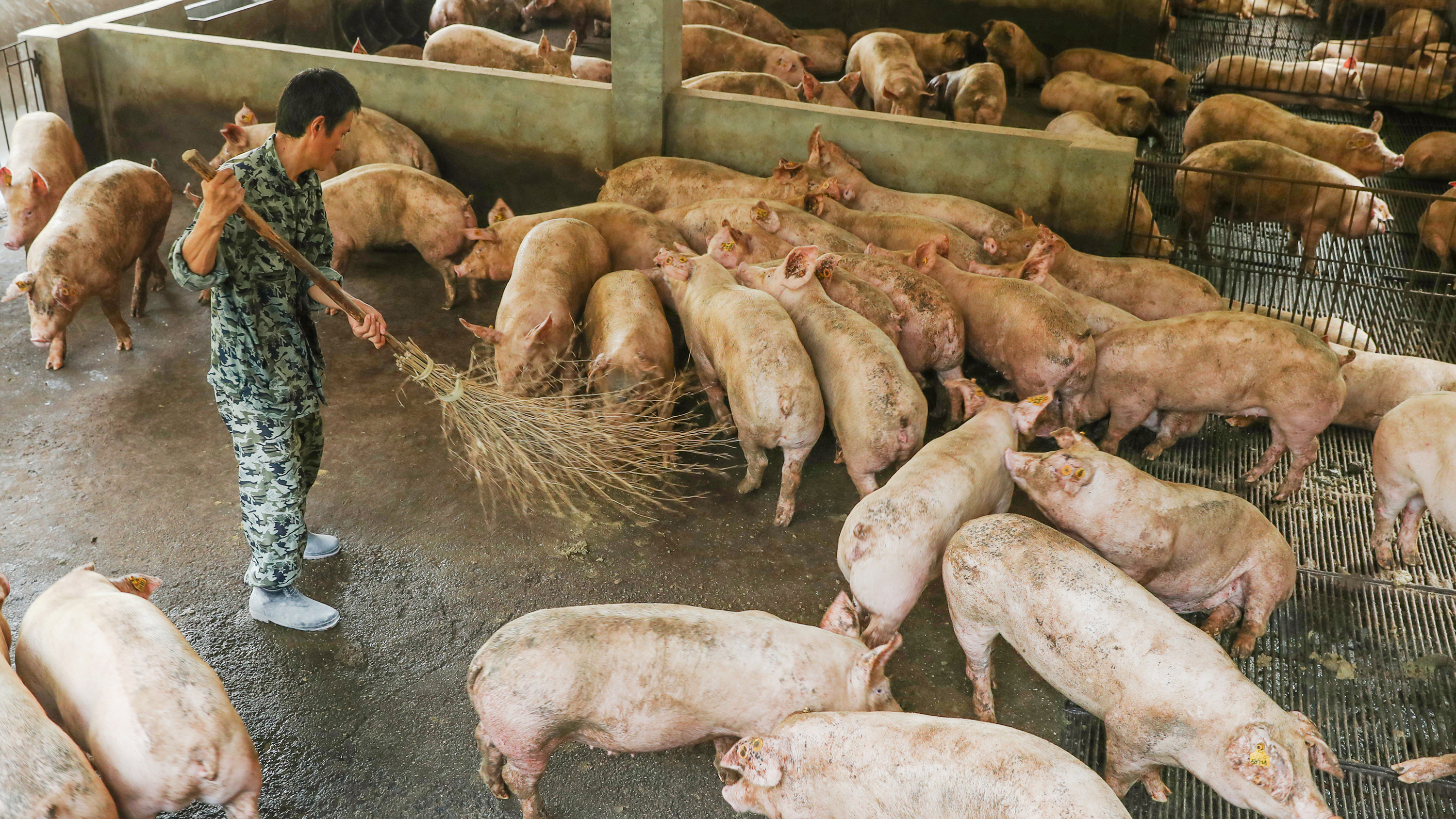 GUANG AN, CHINA - AUGUST 27: A worker cleans up a pigsty at a pig farm on August 9, 2019 in Guang an, Sichuan Province of China. China's consumer price index (CPI) rose 2.8 percent year-on-year in July, according to the data released by National Bureau of Statistics (NBS) on Friday. (Photo by Qiu Haiying/VCG via Getty Images)