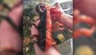 Pescador encuentra una langosta bicolor