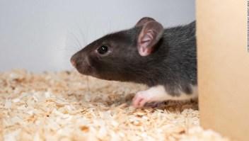 Ratas juegan a las escondidas