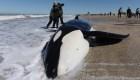 Arduo rescate de orcas en Argentina