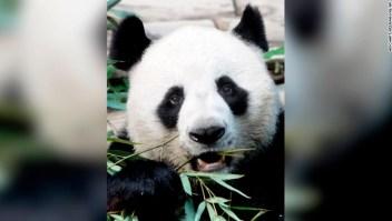 Panda, Chuang Chuang, Tailandia
