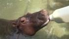 Nicaragua: falta de recursos complica cuidado de bebé hipopótamo