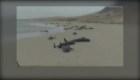 Mortandad de ballenas varadas en Cabo Verde