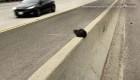 ¿Cómo resultó este gatito en una autopista?