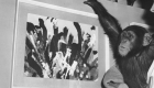 ¿Quieres un cuadro pintado por un chimpancé?