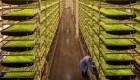 Cultivos verticales están revitalizando las comidas en vuelo