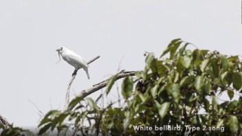 Este pequeño pájaro es el más ruidoso del mundo