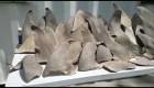Polémica en Colombia por venta de aletas de tiburón