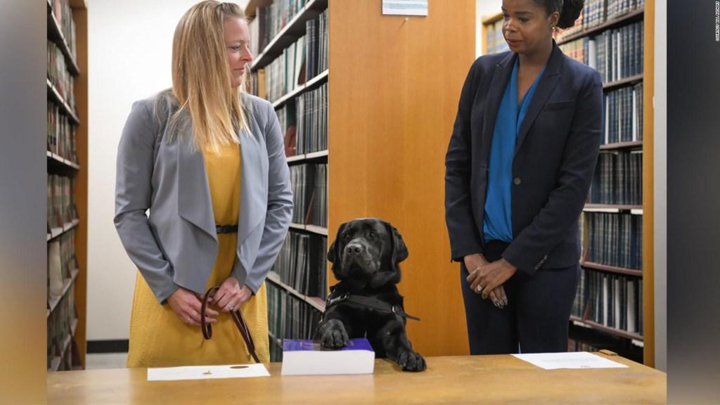 Labrador jura servir como perro de apoyo
