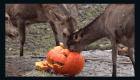 Calabazas por una entrada gratuita a este zoológico