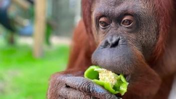 Sandra la orangutana