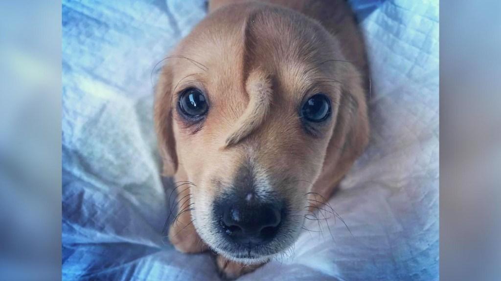 Este cachorro tiene una cola en la frente