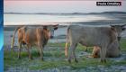 Aparecen tres vacas perdidas desde el paso del huracán Dorian