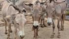 Los burros están riesgo por el comercio de su piel