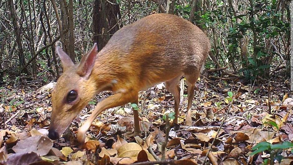 Pequeño animal parecido a un ciervo que se creía perdido para la ciencia fue fotografiado por primera vez en 30 años