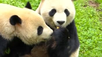 Zoológico de Berlín presenta a sus pandas gemelos