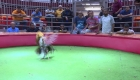 Gobernadora de Puerto Rico busca mantener las peleas de gallos