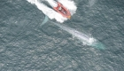 Esto revelan los latidos de una ballena azul