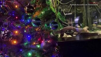 Así enciende una anguila la Navidad en este acuario