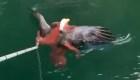 Pulpo atrapa un águila calva: mira el increíble video
