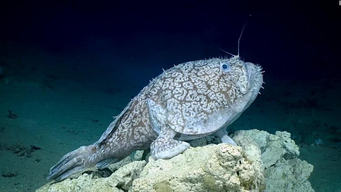 """Exploradores casi confunden con una roca a un pez que """"camina"""""""