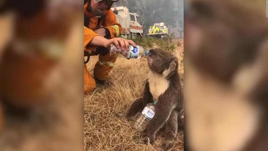 Bomberos dan agua a koala afectado por incendios