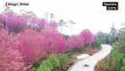 Cerezos en flor visten a la ciudad china de Xingyi