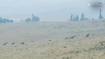 Australia, hasta los canguros huyen del fuego
