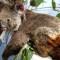 Australia: 500 millones de animales afectados