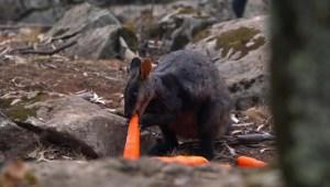 Australia alimenta a los animales desde el aire
