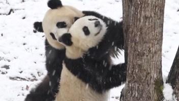 Pandas gigantes luchan en la nieve