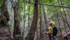 Misión para salvar árboles prehistóricos de Australia