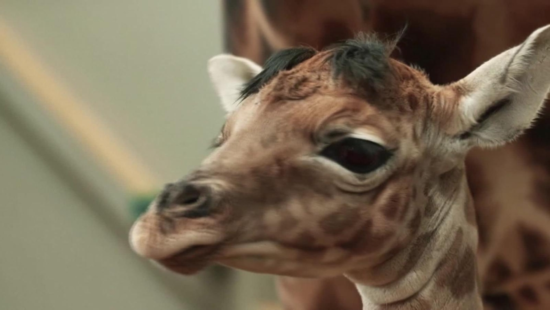 La adorable bebé jirafa del zoológico de Antwerp