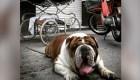 Rescatan a bulldog que fue robado en México