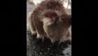 Koala toma agua de lluvia tras incendios de Australia