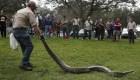 Concurso de caza de pitones en Florida
