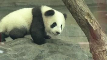 Pandas gemelos de Berlín hacen su primera aparición