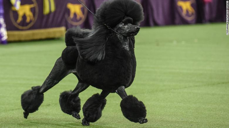 Westminster poodle