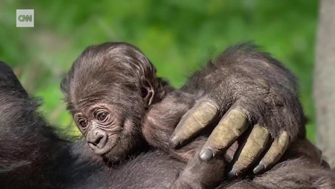 Nace bebé gorila en el Zoológico de Los Ángeles