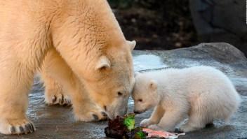 Un conmovedor osito polar da sus primeros pasos