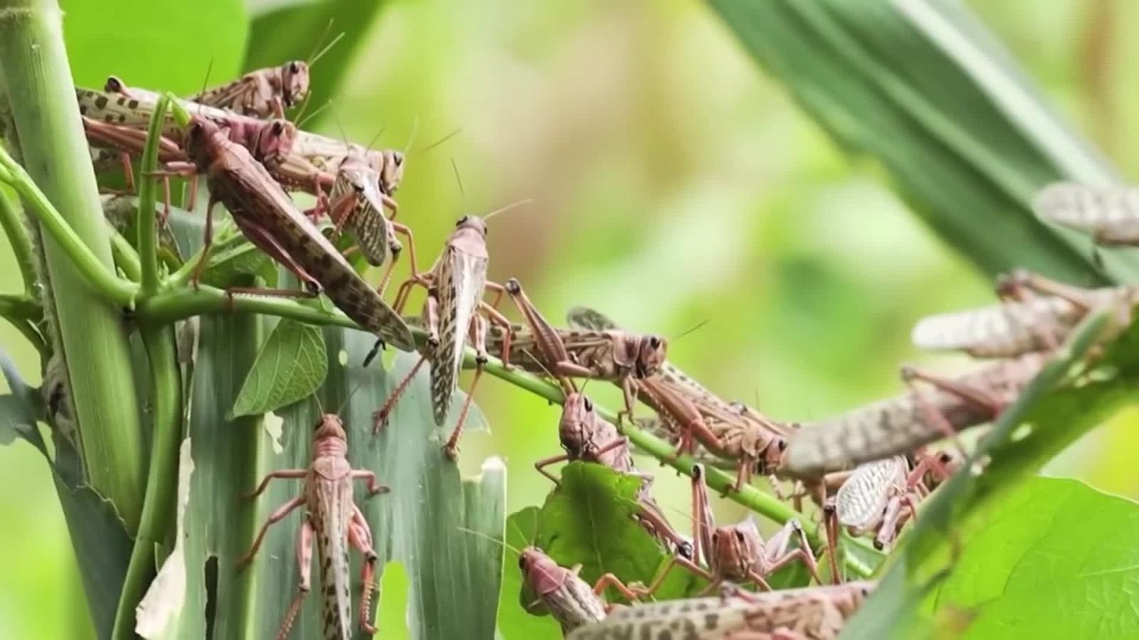 La invasión de langostas podría generar una crisis alimentaria en ...