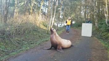 Lobo marino perdido en un bosque fue regresado al agua