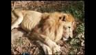 """La esperanza por el león """"Jupiter"""" persiste a pesar de su condición crítica"""