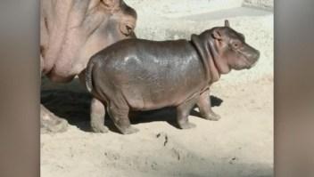 La bebe hipopótamo de San Diego ya tiene nombre